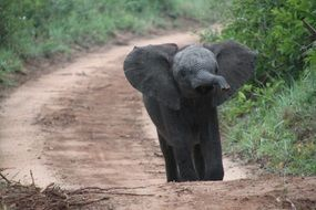 baby elephant on the road