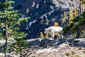 mountain goat on a rock in the alpine mountains