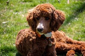 brown poodle puppy
