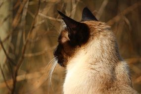 portrait of a cute siamese cat