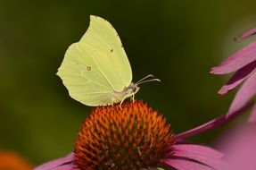 gonepteryx rhamni butterfly on the summer flower
