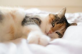 beautiful domestic cat on a white blanket