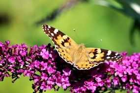a butterfly of light color is sitting on a purple flower