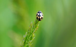 blonde ladybug on a green blade of grass close up