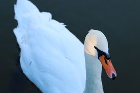 white swan is a graceful bird