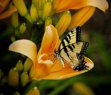 butterfly on orange lily