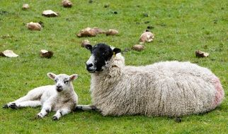 Sheep and Lamb lying on meadow