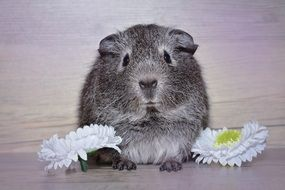 grey guinea pig with flowers