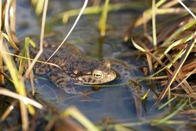 toad in the water among the grass