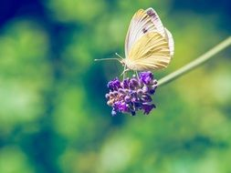 yellow butterfly on a lavender flower close-up