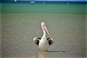 splendid Bird Pelican