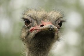 ridiculous portrait of an ostrich