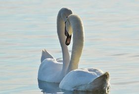 Two white swans on the pond