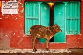 Brown bull at the entrance door to the house in India