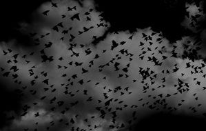 flocks of black birds against the stormy sky