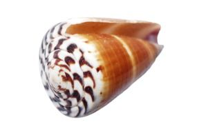 seashell with a white and brown rim