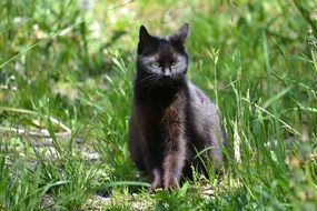 black cat among green grass on a sunny day