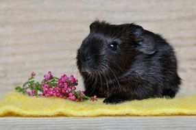 black guinea pig with smooth hair
