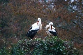 a pair of storks build their nests