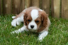 white and brown Puppy Dog lays outdoor
