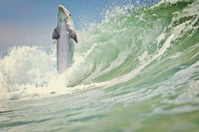 dolphin among the waves of the ocean