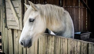 beautiful white horse in a stable