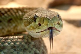 rattlesnake with his tongue hanging out