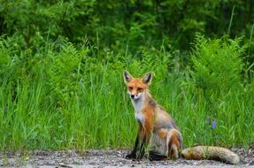 red fox in summer