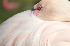 pink flamingo swept his head in feathers
