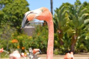 pink flamingo with a large unusual beak