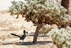 The roadrunner is a fast-running ground cuckoo
