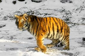young tiger in winter in the Nuremberg zoo