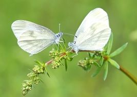 Whites Butterflies