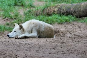 White wolf in a zoo