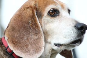 Beagle, Dog portrait