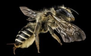 Leafcutter Bee with sting close up
