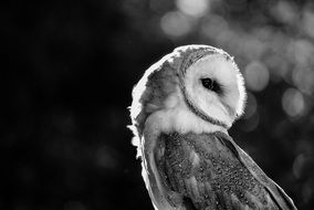 portrait of a barn owl in black and white