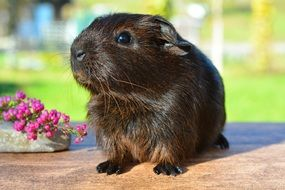 guinea pig with smooth hair on the table