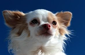 portrait of a sweet chihuahua