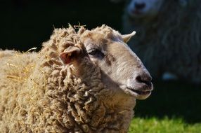 sheep with curly hair in a meadow