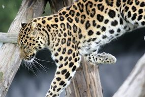 relaxed spotted leopard