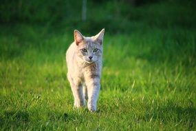 young cat walking on the meadow