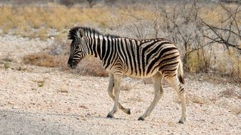 young zebra in the national park of Namibia