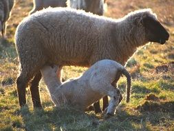 sheep feeding her lamb on pasture