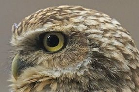 bird of prey with expressive eyes close up