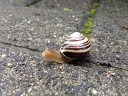 Snail crawling on Paving Stone