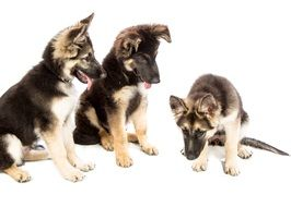 three puppies on white background