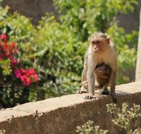 a monkey with a cub on the parapet
