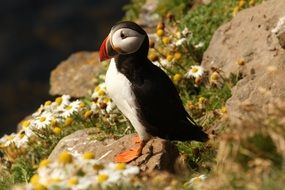 cute Atlantic Puffin outdoor