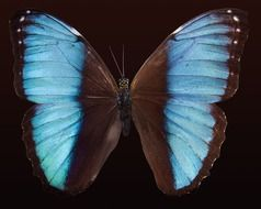 blue brown exotic butterfly